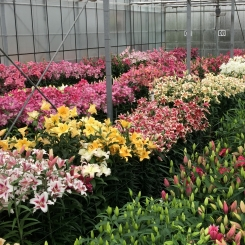 Lily cultivation keeps innovating